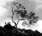 Monteverde Meeting Tree
